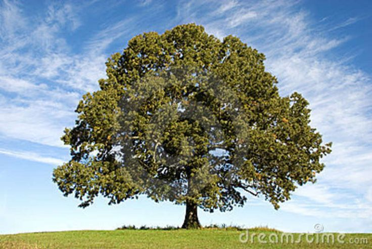 large oak tree - Google Search