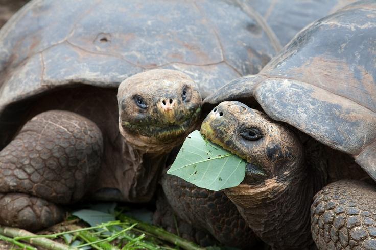 Galapagos turtle feeding frenzy. Terrapin station Pinterest
