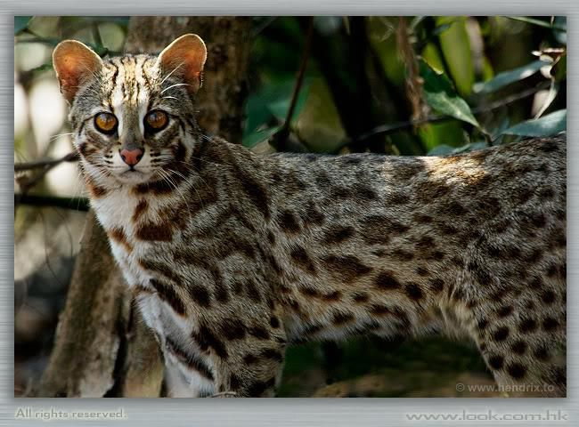 Leopard cat  Wikipedia