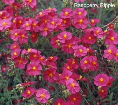 Prickly Free Rock Roses (Helianthemum nummularium hybrids) - Raspberry