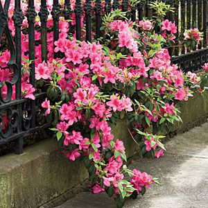 A Brief History of the Azalea:  Many of our best-loved plants first entered the South in Charleston.