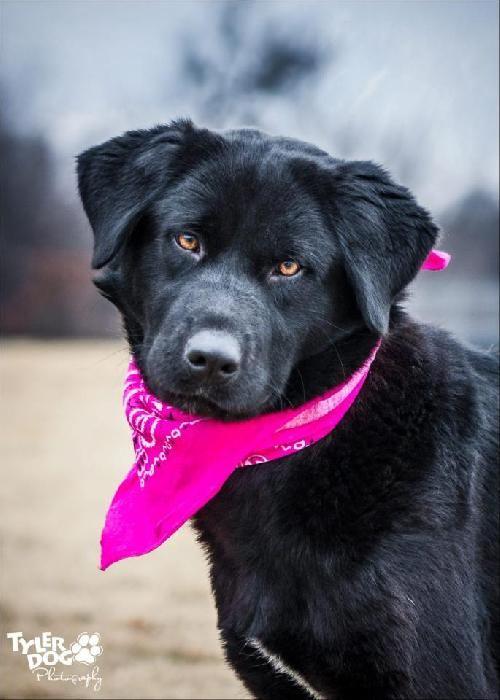 Dog Ready For Adoption Labrador Retriever Spaniel Mixed Medium | Dog ...