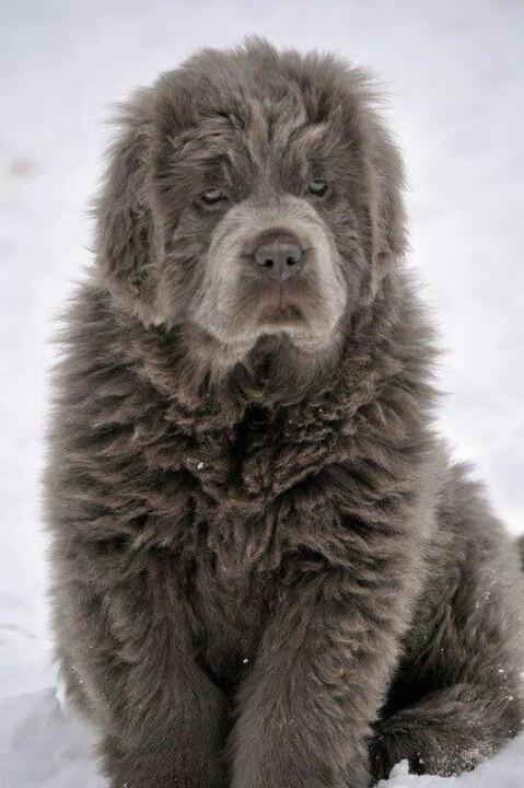 Silver newfoundland dog