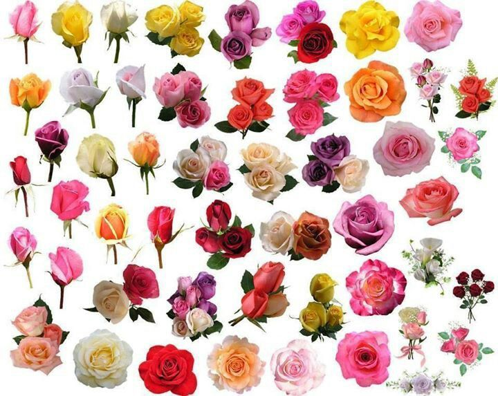All Kinds of Roses! | Flowers All Around | Pinterest