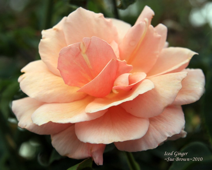 Iced Ginger- beautiful blending | Roses and such | Pinterest