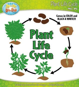 Plant Life Cycle Foldable additionally Plant Life Cycle Worksheet in ... | 318 x 350 jpeg 24kB