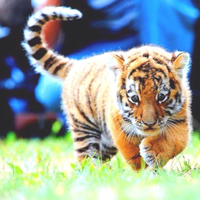 Baby tiger cub | God's creation | Pinterest