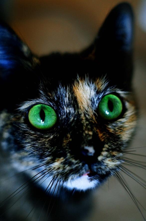 Green eyed calico cat animals | Meow! | Pinterest