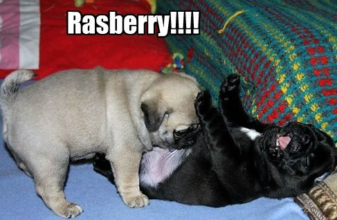 Pug rasberry