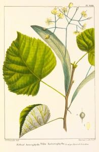 "Linden tree: means ""Conjugal love"" [more at http://pinterest.com/neenjay11/the-message-in-the-flowers/ and http://pinterest.com/search/pins/?q=linden%20leaf]"