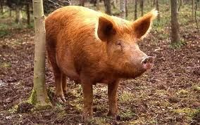 Tamworth pigs tamworth pig pinterest