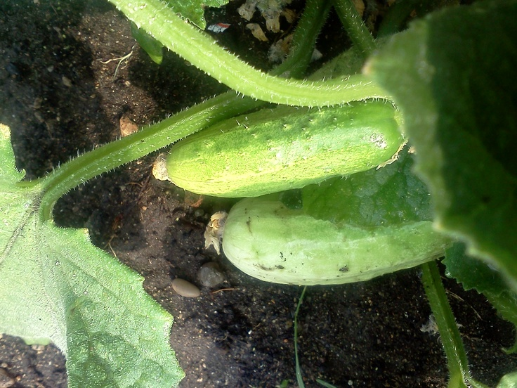 Ready To Pick Cucumbers