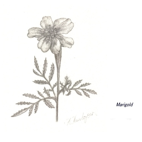 marigold flowers tattoos the image kid has it. Black Bedroom Furniture Sets. Home Design Ideas