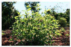 La Stévia, une plante naturellement sucrée