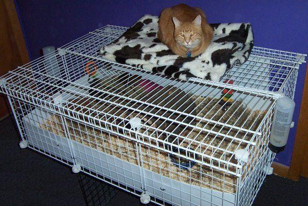 Diy guinea pig cage 5 21 13 pets supplies guinea for Diy c c guinea pig cage