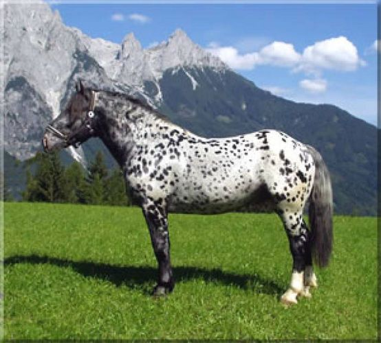 Tiger horse breed - photo#27
