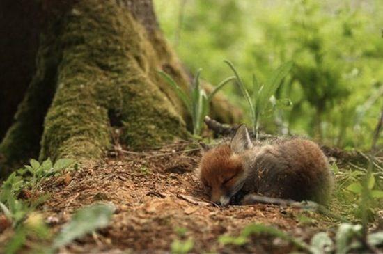 Sleeping Baby Fox (kit)