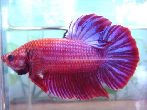 Giant siamese fighter betta betta fish pinterest for Biggest betta fish