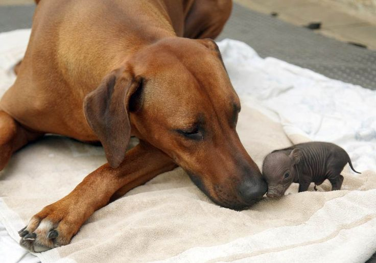 """Katjinga, a Rhodesian ridgeback dog who lives in Germany, adopted an abandoned pot-bellied piglet,named Paulinchen.  Katjinga's owner found the piglet alone and cold and brought it to his 8-year-old dog. """"She loved the piglet at first sight and cares about it in the way she did for her own puppies,"""" Adam said. """"Days later she started lactating again and giving milk for the piggy. She obviously regards it now as her own baby."""""""