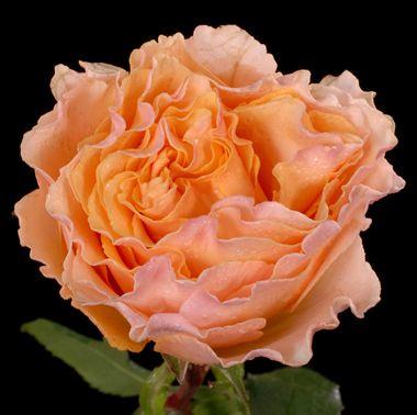 Garden Roses Campanella Peach Flowers Pinterest