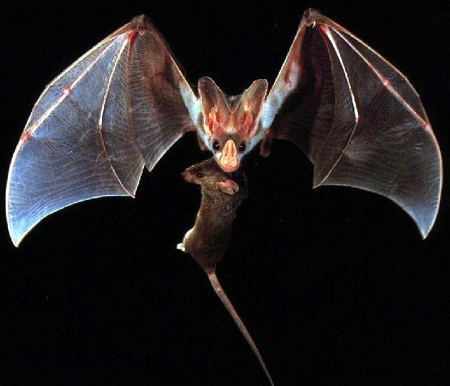 Northern ghost bats are insectivorious and they sing while