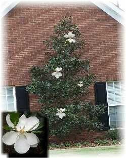 Espalier: Little Gem Magnolia against wall | Garden style ...