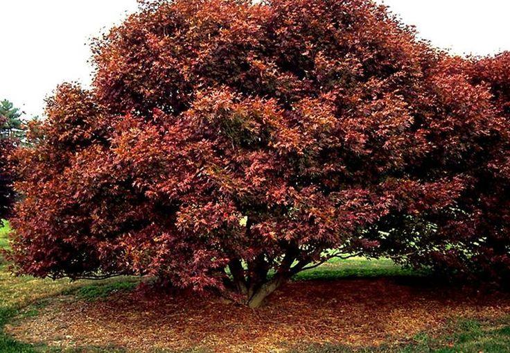 bloodgood japanese maple maple trees pinterest