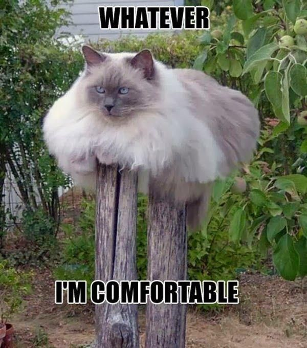 Funny Meme Whatever : This fat cat is comfortable memes pinterest