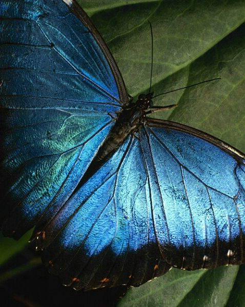 Morpho butterfly, Fortin de las Flores, Mexico