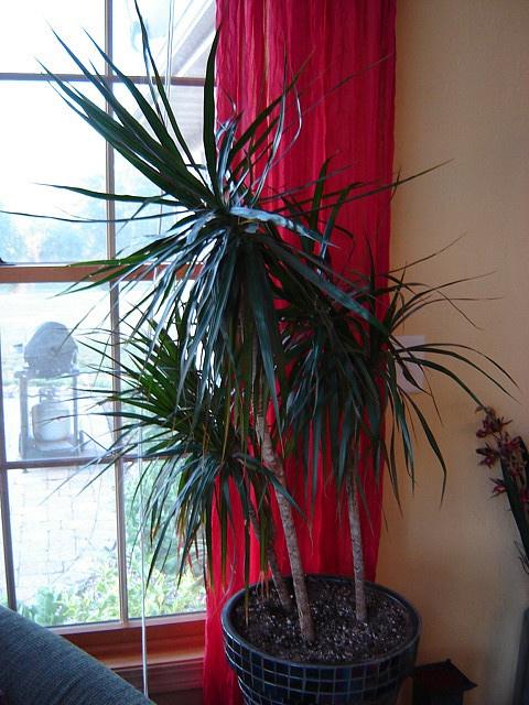 dragon tree plant care