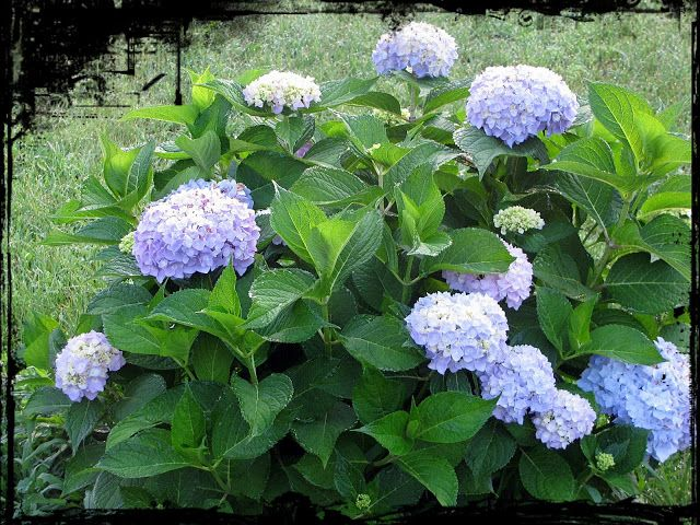how to take hydrangea cuttings in water