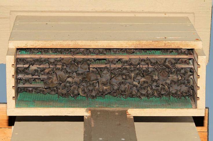 Bat House Full Of Bats Pinterest