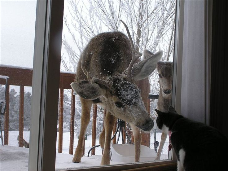 our cats hide under the bed when deer are in the woods ~ 1/4 mile away.  I think this would traumatize them : )