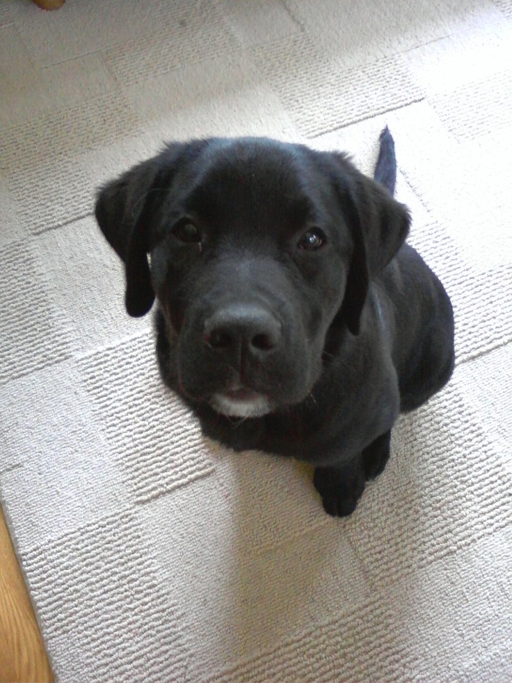 Tucker 13 weeks old. Newfie Lab mix | Pups | Pinterest
