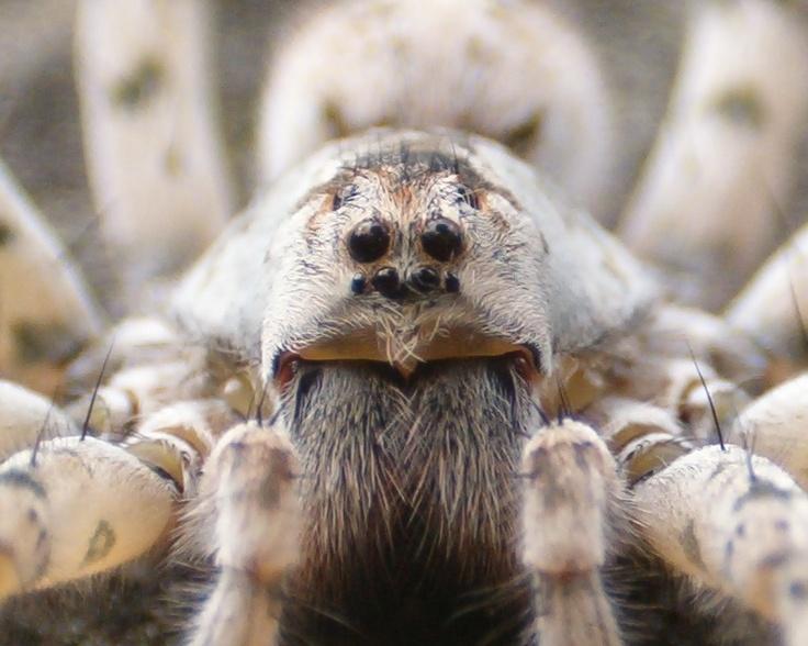 Pet tarantula on face - photo#5