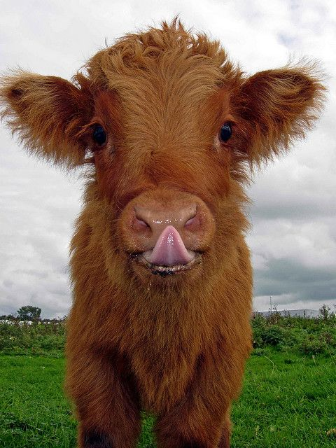 calf posing (near Amsterdam Airport Schiphol)