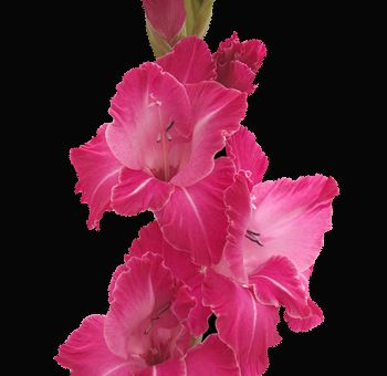 Hot Pink Gladiolus Flower Can Also Separate Blooms And Wire Into