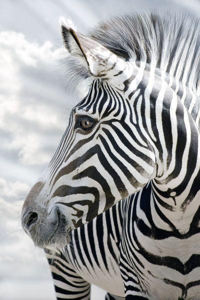Africa |  The smiling zebra. |  © Werner Dreblow