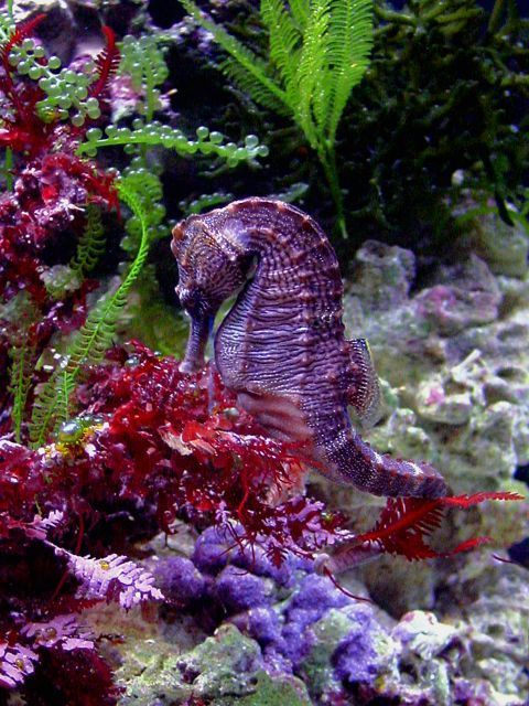Coral reef fish purple seahorse oceans of fun pinterest for Is a seahorse a fish