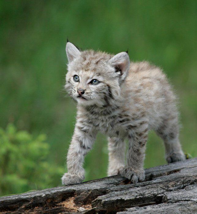 Cute baby bobcat - photo#26