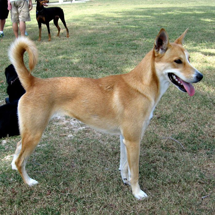 South American Dog Breeds
