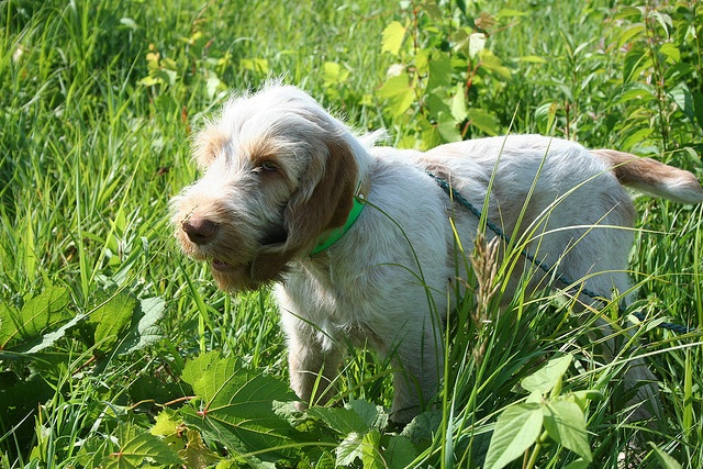 Italian Spinone Puppy | Dog Breeds Picture