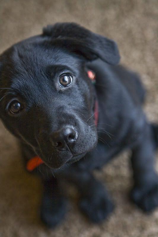 Baby Black Lab | Animals | Pinterest