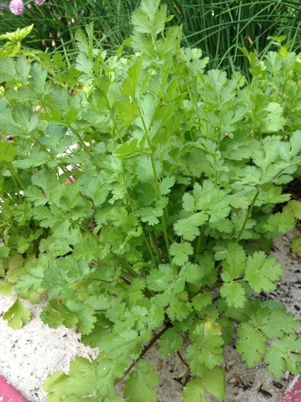 Grow your own cilantro and discover a new world of guacamole, easy Mexican casseroles, grilled fish, and tangy sauces. Get growing tips and recipes here: http://www.recipe.com/blogs/cooking/cilantro-cooking-with-herb-garden-tips-recipes/?socsrc=recpinn052813cilantrorecipes