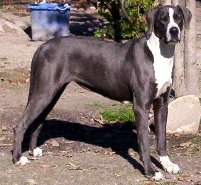 Pin by luie on GREAT DANE - MANTEL....MY FIRST CHOOSE ... Blue Mantle Great Dane