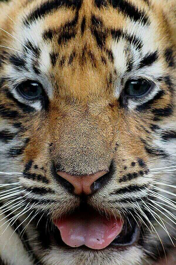 Baby tigers face - photo#2