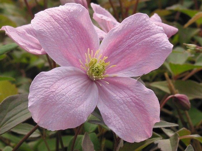 clematis montana rubens garden flowers plants pinterest. Black Bedroom Furniture Sets. Home Design Ideas
