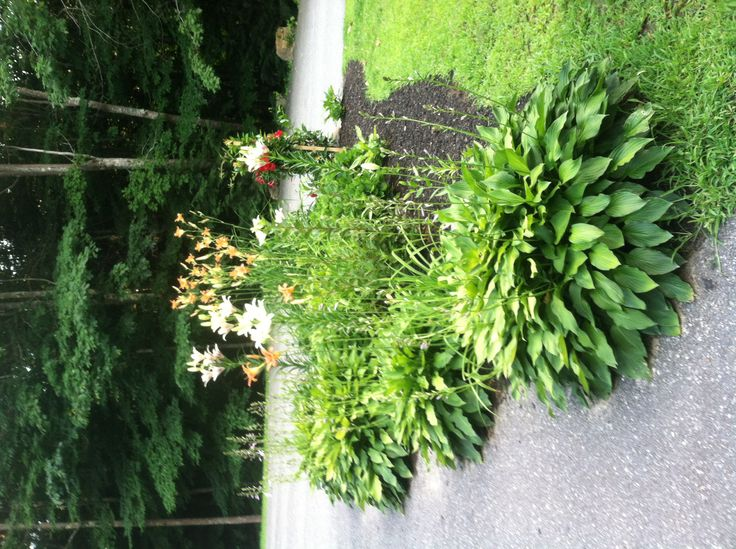 ... lilies, hosta, and violets in sunny front yard island garden bed