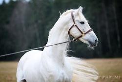 White stallion!