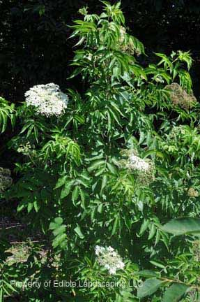 What Is Elderberry Used for A Detailed Guide to the Plant's Benefits, Side Effects, and More forecast